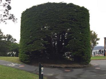 GIGANTIC BONSAI. Or gigantic pruned tree thing.