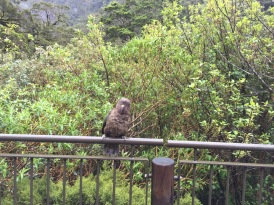 This is a Kea. It is a.) cute and b.) mischievous. My favorite kind of creature!
