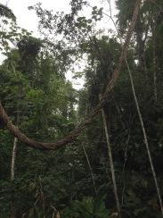 Tarzan vine