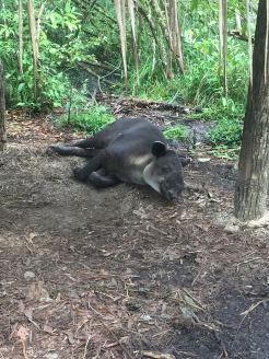 Lazy tapir