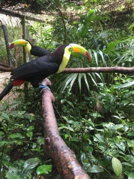 Loud-mouthed toucans
