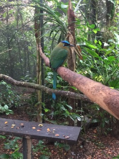 More blue-crowned motmot. Loved this guy (gal?). Bird.